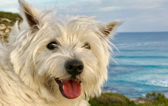 Millie the resident Westie